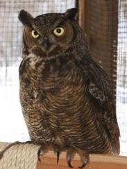 Gt_horned_owl